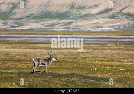Svalbard reindeer standing on the tundra in summer at Svalbard - Stock Photo