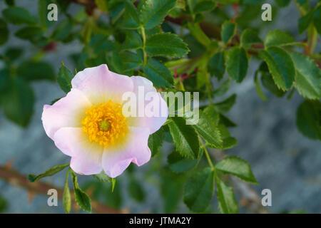 Dog Rose (Rosa canina) flower - Stock Photo