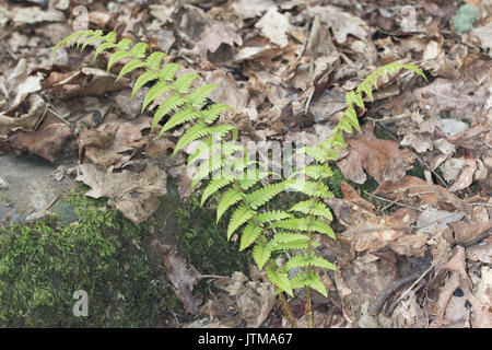 Scaly Male-fern (Dryopteris affinis) - Stock Photo