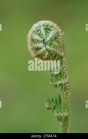 Scaly Male Fern (Dryopteris affinis) - Stock Photo