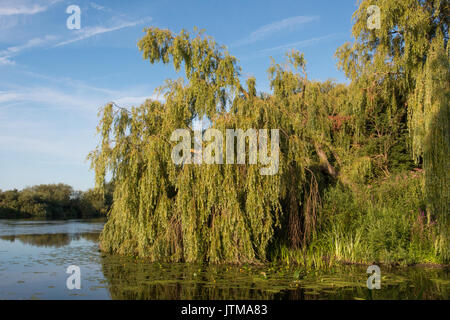 Weeping Willow (Salix babylonica) on the banks of the River Trent, Nottinghamshire - Stock Photo
