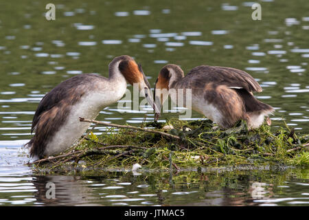 pair of Great Crested Grebes (Podiceps cristatus) changing over incubating duties - Stock Photo