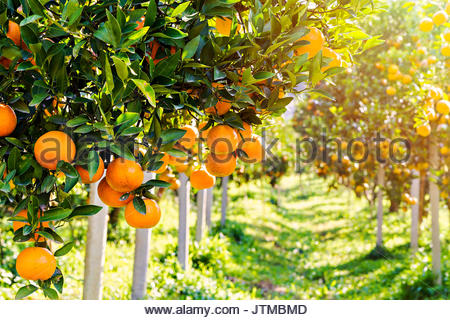 Plantation of oranges with the ripe fruits on trees - Stock Photo