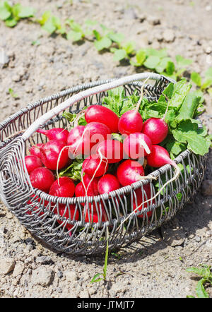 Fresh red radishes with leaves and growing radish plant in the garden sunny day - Stock Photo