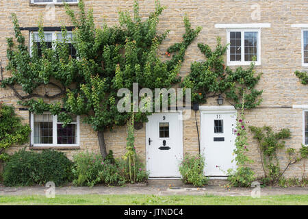 Prunus armeniaca. Fruiting espalier apricot tree on a stone cottage wall in Anyho, Northamptonshire, England. Anyho - Stock Photo