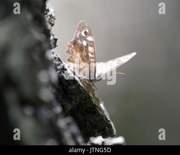 A butterfly speckled wood, Pararge aegeria, sitting on a tree trunk in misty light. Forest near Dnieper river, Ukrainka, - Stock Photo