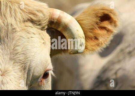 Portrait in half head with cut horn and visible eye of a cow of breed  Charolais - Stock Photo