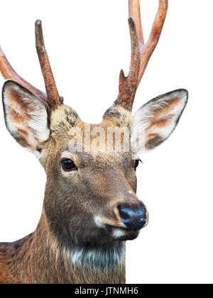 Head of Sika deer (Cervus nippon) also known as the spotted deer - Stock Photo