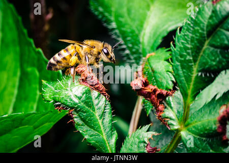 Yellow and black honey bee perched on a green leaf in the garden.  Pollen is seen attached to one of its legs. - Stock Photo