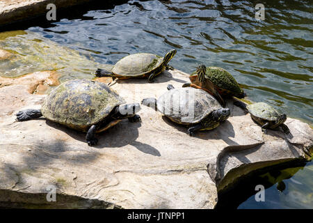 Florida red-bellied cooters (pseudemys nelsoni),  Homestead, Florida, USA - Stock Photo