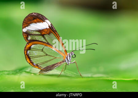 Butterfly Greta Ota with transparent wings - Stock Photo