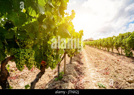 Old vineyards with red wine grapes in the Alentejo wine region near Evora, Portugal Europe - Stock Photo