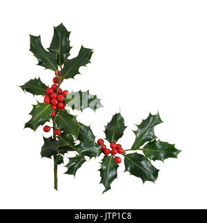 Christmas Holly branches and berries in a corner or border design isolated on a white background. - Stock Photo