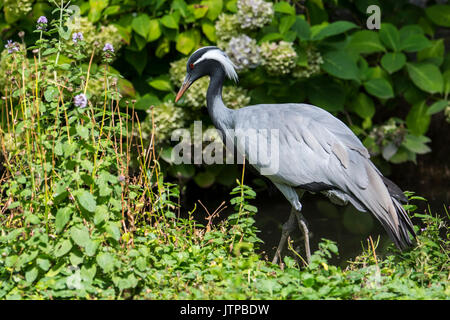 Demoiselle crane (Grus virgo) smallest species of crane, native to central Eurasia, ranging from the Black Sea to - Stock Photo