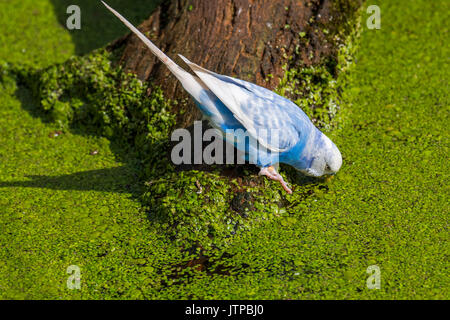 Blue budgerigar / budgie / common parakeet (Melopsittacus undulatus) native to Australia drinking water of pond - Stock Photo