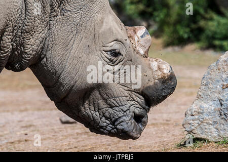 Close up of white rhinoceros / white rhino (Ceratotherium simum) with cut horns as precaution against theft from - Stock Photo