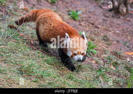 Red panda / lesser panda (Ailurus fulgens) native to the eastern Himalayas and southwestern China - Stock Photo