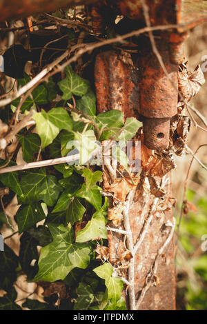 Close-up of a rusty metal hinge on a fence with ivy. - Stock Photo