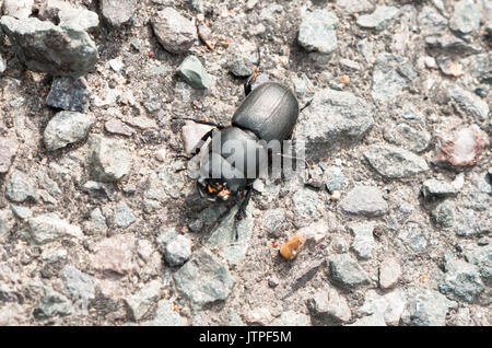 Lesser stag (dorcus parallelipipedus) beetle on ground; UK - Stock Photo