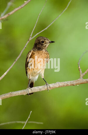 female Pied bush chat, (Saxicola caprata),Keoladeo Ghana National Park, Bharatpur, Rajasthan, India - Stock Photo