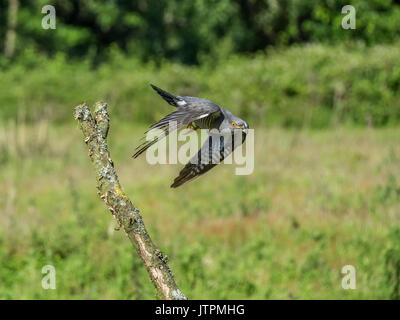 Cuckoo (Cuculus canorus) in flight at Thursley common, Surrey, England, UK - Stock Photo