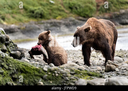 A brown bear sow known as Bearded Lady watches as her spring cub learn to eat salmon as they wean at the McNeil - Stock Photo