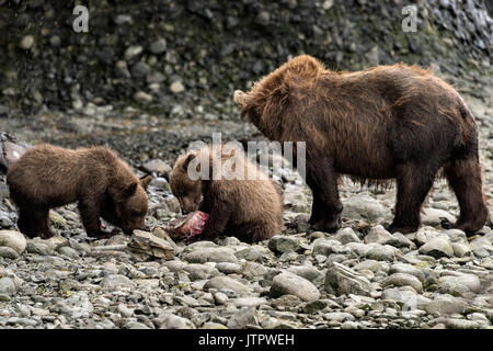 A brown bear sow known as Bearded Lady watches as her spring cubs learn to eat salmon as they wean at the McNeil - Stock Photo