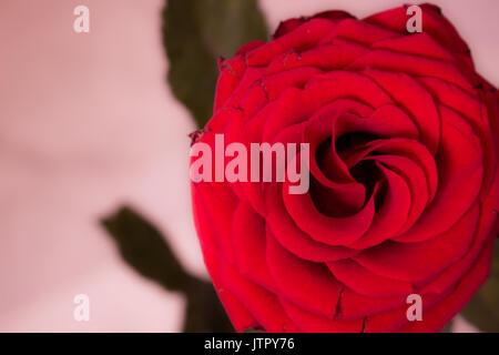Rose. Beautiful red flower. Nature design. Macro. - Stock Photo
