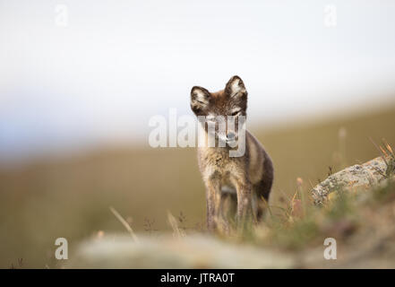 Arctic Fox, Vulpes lagopus, cub in natural habitat, summer in Svalbard Norway - Stock Photo