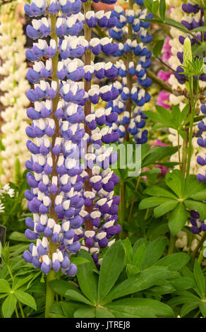 Lupins in a cottage garden, England, UK - Stock Photo