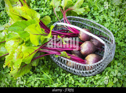 fresh beets in the garden outside - Stock Photo