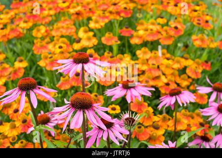 Informal country cottage garden with,  Echinacea purpurea 'Lustre Hybrids' Helenium 'Sahin's Early Flowerer' - sneezeweed. - Stock Photo