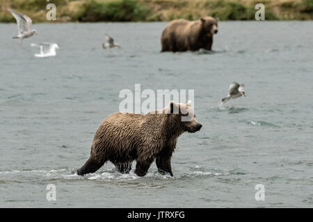 A brown bear yearling cub learns to fish for salmon at the McNeil River State Game Sanctuary on the Kenai Peninsula, - Stock Photo