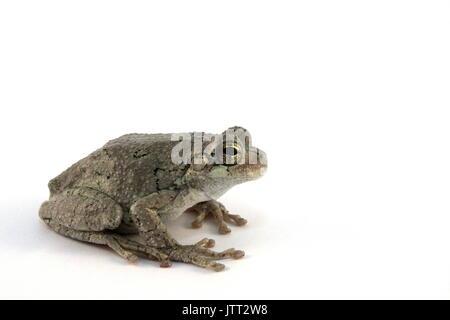 Eastern Gray Tree Frog, Hyla versicolor, Grey Treefrog on White Background, Captive, like Copes Gray Treefrog, Hyla - Stock Photo