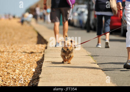 a small dog or terrier on the end of a lead being taken for a walk along the beach or seafront on a summers day. - Stock Photo