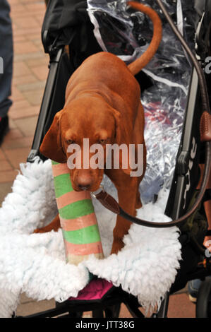 a Hungarian vizsla puppy dog wearing a plaster cast with a broken leg a trip to the vets pedigree dogs injured hounds - Stock Photo