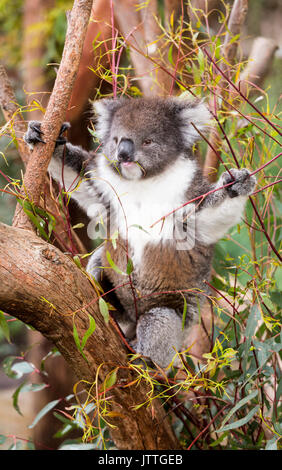 Fluffy young koala eating gum leaves - Stock Photo