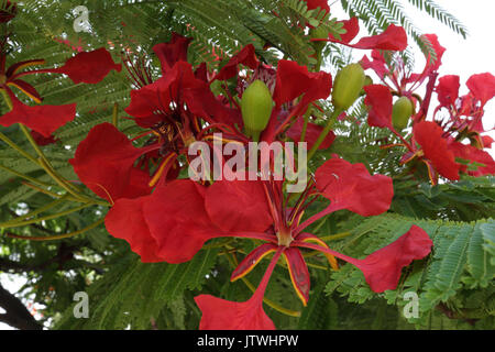 Delonix regia red flowers, branches and leaves with a blue sky as a background in the tropical city of Santa Cruz - Stock Photo