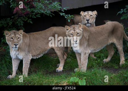 Asiatic lions at ZSL London Zoo which celebrates World Lion Day on August 10. - Stock Photo