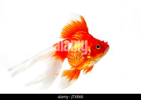 Ryukin Goldfish, carassius auratus, Adult Against White Background - Stock Photo