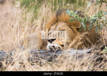 Portrait of a male lion (Panthera leo) resting on a log - Stock Photo