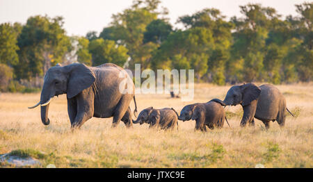 Four elephants (Loxodonta africana) including two babies walking in a line each with their trunk touching the individual - Stock Photo