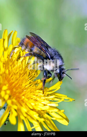 Close up Bumblebee feeding on Dandelion flower - Stock Photo