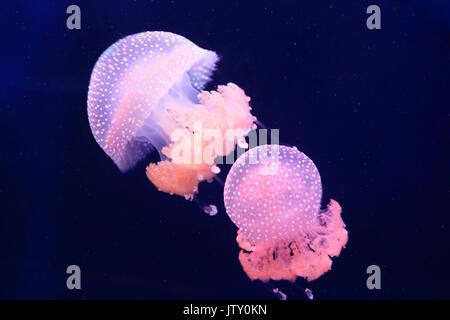 Two pink barrel jellyfish swimming in the dark water - Stock Photo