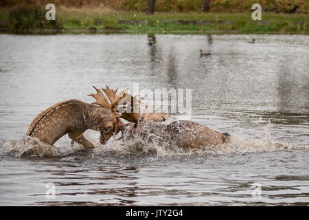 Young Fallow deer bucks rutting in the pond at Bushy Park - Stock Photo