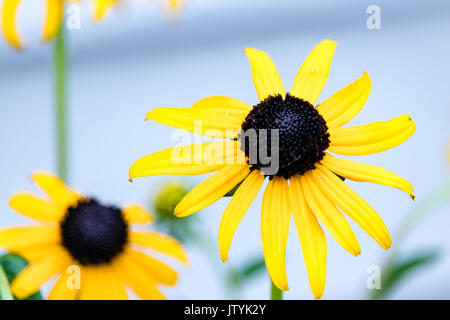 Close up of black eyed Susan flower (Rudbeckia hirta) - Stock Photo