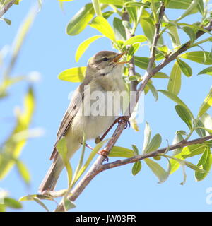 Eurasian Willow Warbler (Phylloscopus trochilus) singing in spring. - Stock Photo