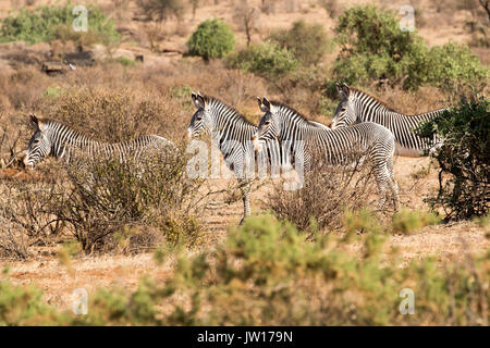 Grevy's Zebra (Equus grevyi) standing on guard towards the direction of a lioness nearby - Stock Photo