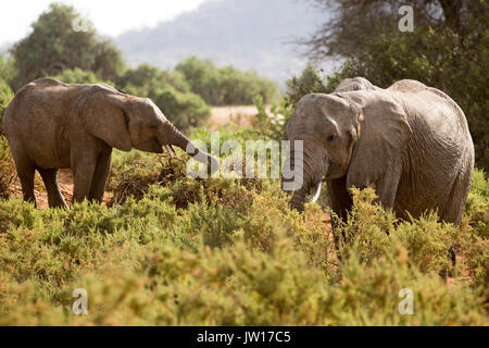 Gentle moment between elephant mother and baby (African Elephant, Africana) - Stock Photo