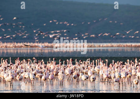 Lesser Flamingos (Phoeniconaias minor) resting and flying at Lake Bogoria early in the morning - Stock Photo